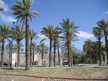 Palm trees outside the old walls of Jerusalem